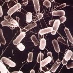 乳酸菌と大腸菌の違い